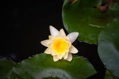 Wasser lilly Lizenzfreie Stockfotos