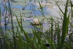 Wasser Lilly auf dem Teich mit Wolken-Reflexion lizenzfreies stockfoto