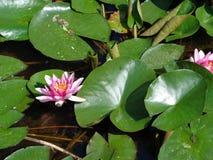 Wasser Lilly- die schönsten Algen Stockfotografie