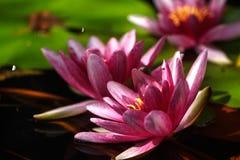 Wasser lilly Garten am Sommer Lizenzfreies Stockbild
