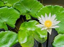 Wasser lilly im Teich lizenzfreies stockbild