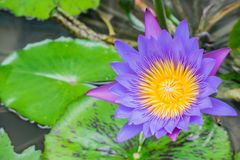 Wasser lilly im Teich stockfotos