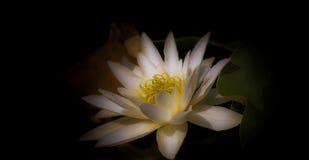 Wasser lilly mit einem weichen Licht lizenzfreie stockfotografie