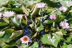 Wasser Lily Blooms 4 Stockbild