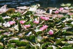 Wasser Lily Blooms 6 Stockbild