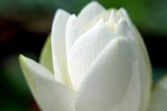 Wasser Lily Detail Stockbild
