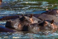 Wasser-Ohren des Hippopotamus-zwei oben Lizenzfreies Stockfoto