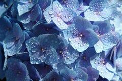 Wasser passend auf blauer Hydrangia Anlage stockfoto