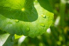 Wasser Pennywort, Centella asiatica Lizenzfreie Stockbilder