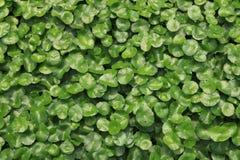 Wasser Pennywort im Garten Stockfotos
