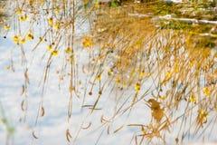 Wasser reflektiert sich mit gelbem Gras und Blume in der Wiese Stockfotos