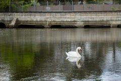 Wasser reflektierter männlicher Höckerschwan, der durch Brücke schwimmt Stockbilder