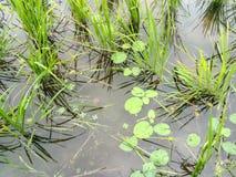 Wasser, Reisfeld und Schönheit Stockbilder