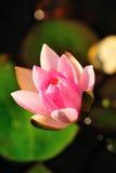 Wasser-rosafarbene Lilie Stockfoto