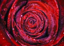 Wasser Rose stockbild