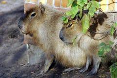 Wasser-Schweine, die im Sun sitzen Stockbilder