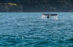 Wasser-Strom weg von Gray Whale Tail lizenzfreie stockfotografie