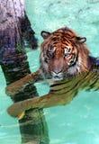 Wasser-Tiger Lizenzfreies Stockfoto