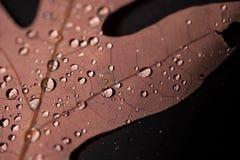 Wasser-Tröpfchen auf Eichen-Blatt Lizenzfreie Stockfotografie