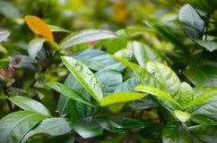 Wasser-Tröpfchen auf grünen Blättern Lizenzfreies Stockbild