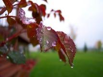 Wasser-Tröpfchen auf Rosen-Blättern stockbilder