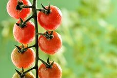 Wasser-Tröpfchen auf Tomatenpflanze Lizenzfreie Stockbilder