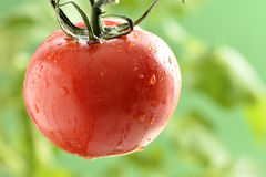 Wasser-Tröpfchen auf Tomatenpflanze Stockfotografie