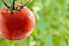 Wasser-Tröpfchen auf Tomatenpflanze Lizenzfreie Stockfotos