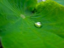 Wasser-Tropfen allein auf Lotus Leaf Stockfotos