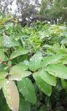 Wasser-Tropfen auf Blättern nach Regen Stockfoto