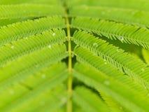 Wasser-Tropfen auf Cha Green Leaf Stockfotografie