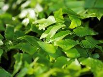 Wasser-Tropfen auf Ginkgo-Farn Lizenzfreies Stockfoto