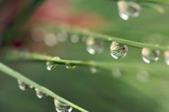 Wasser-Tropfen auf Kiefer-Nadeln Stockfotos