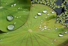Wasser-Tropfen auf Lotos-Blatt Lizenzfreie Stockfotografie