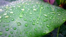 Wasser-Tropfen auf Mandel-Betriebsblatt Stockbild