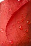 Wasser-Tropfen auf Rose Lizenzfreie Stockfotos