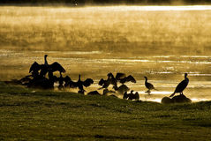 Wasser-Vögel am Sonnenaufgang Lizenzfreie Stockbilder