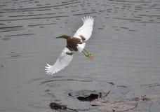 Wasser-Vogel-Fliegen vom See stockfotografie