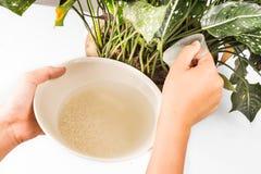 Wasser vom Reisspülen, das als natürliches Düngemittel auf Topfpflanze verwendet wird stockfotos
