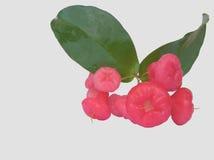 Wasserapfel oder rosafarbener Apfel Stockbild