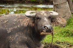 Wasserbüffel Stockbild