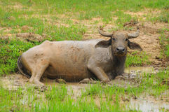 Wasserbüffel Lizenzfreies Stockbild