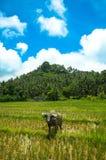 Wasserbüffel auf dem Reisgebiet lizenzfreie stockfotografie