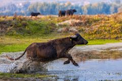 Wasserbüffel, der bei Sonnenuntergang nahe bei dem Fluss Strymon in keinem weiden lässt Stockbilder