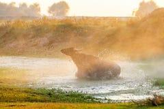 Wasserbüffel, der bei Sonnenuntergang nahe bei dem Fluss Strymon in keinem weiden lässt Stockfoto