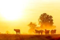 Wasserbüffel, der bei Sonnenuntergang nahe bei dem Fluss Strymon in keinem weiden lässt Lizenzfreie Stockfotos