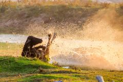 Wasserbüffel, der bei Sonnenuntergang nahe bei dem Fluss Strymon in keinem weiden lässt Lizenzfreie Stockbilder
