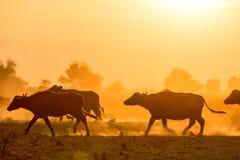 Wasserbüffel, der bei Sonnenuntergang nahe bei dem Fluss Strymon weiden lässt Lizenzfreies Stockfoto