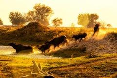 Wasserbüffel, der bei Sonnenuntergang nahe bei dem Fluss Strymon weiden lässt Stockfoto