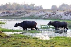 Wasserbüffel, der bei Sonnenuntergang nahe bei dem Fluss Strymon weiden lässt Lizenzfreies Stockbild